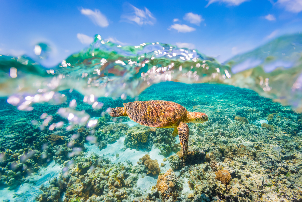 Five-Species-of-Sea-Wildlife-Youll-Find-In-Fitzroy-Island-Water Turtle Beach Bungalows