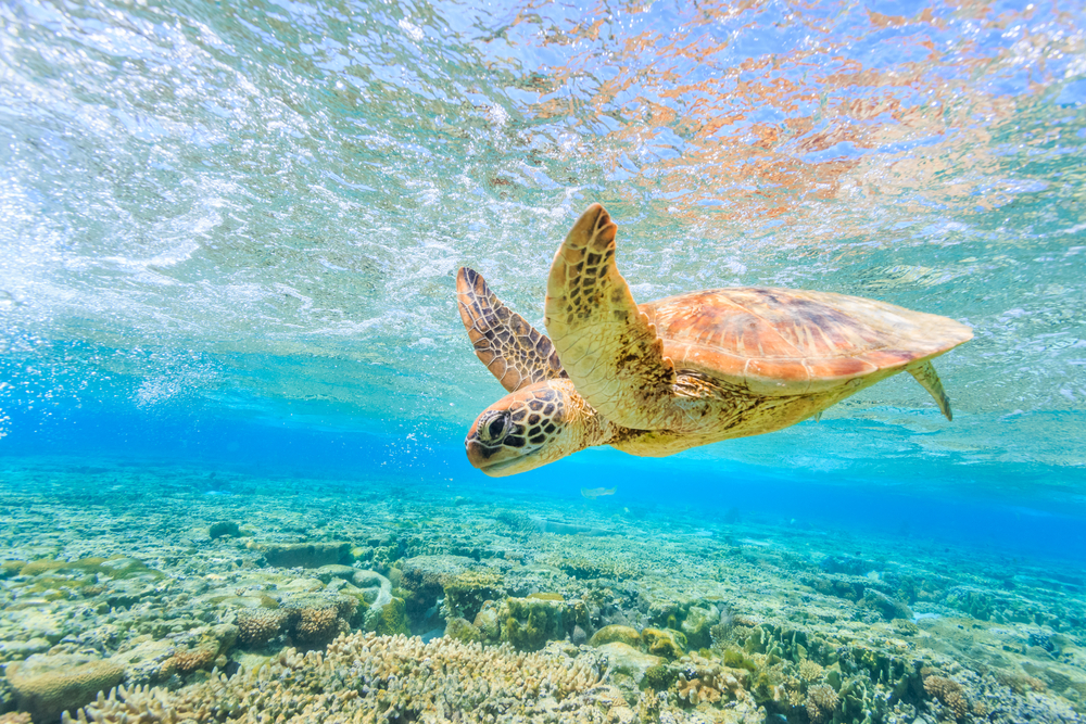 Best Places To See Turtles On The Great Barrier Reef Near Cairns