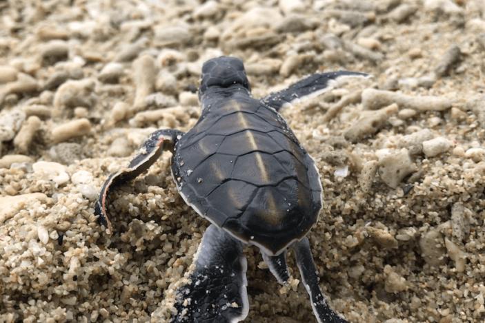 Green Sea Turtles Hatch on Fitzroy Island 🐢 - Fitzroy Island