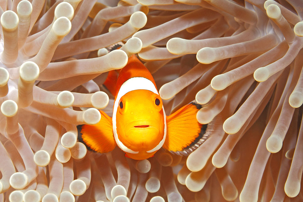 What Sea Animals Can I Expect to See When Visiting Fitzroy Island Clown Fish
